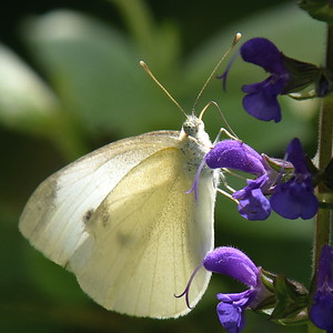 #1460  Cabbage butterfly on purple salvia