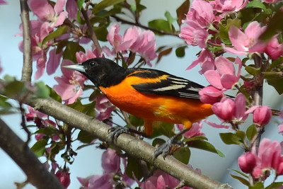 #1459  Baltimore Oriole, male  in crab apple tree