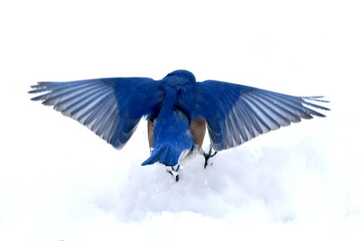 #1438  Eastern Bluebird, m  on snow