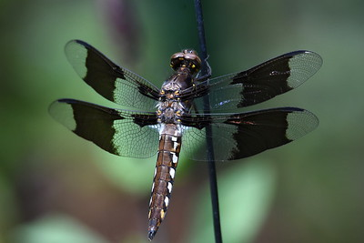 #1469  Common Whitetail dragonfly, immature male