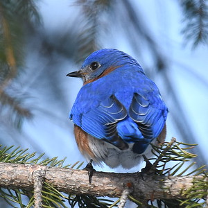 #1434  Eastern Bluebird, male