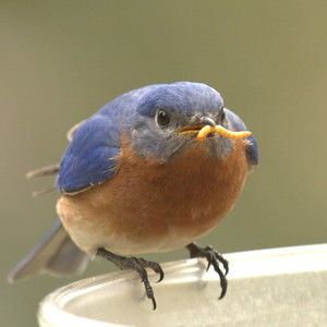 #1449  Eastern Bluebird, male  with mealworm