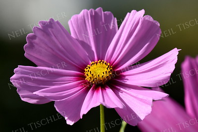 #1394  Pink Cosmos on a sunny day