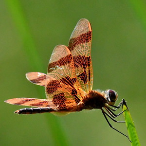 #1550  Halloween Pennant dragonfly