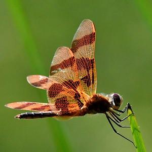 #1550  Halloween Pennant dragonfly