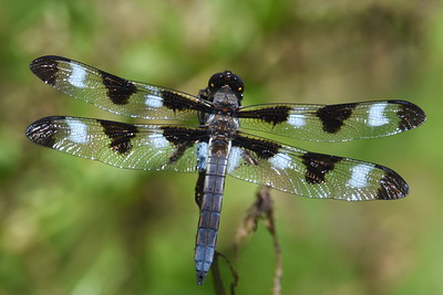 #1498  Twelve-spotted Skimmer dragonfly