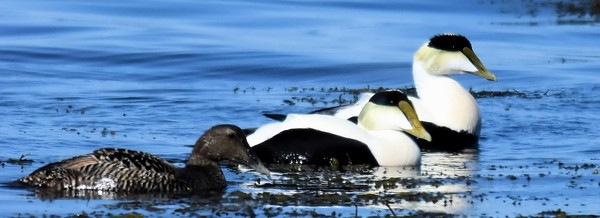 #1470  Common Eiders. males and female