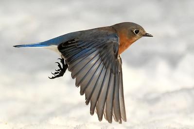 #1429  Eastern Bluebird, female  in flight