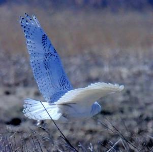 #1455  Snowy Owl  in flight at Salisbury Beach, MA    04-22-18
