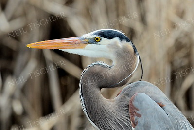 1406  Great Blue Heron