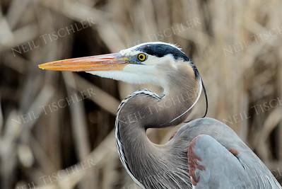 1406  Great Blue Heron