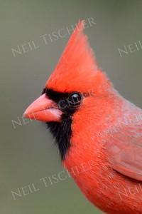#1411  Northern Cardinal portrait, male