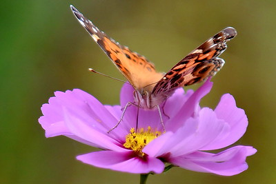 #1495   American Lady butterfly on cosmos