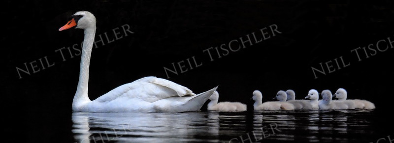 #1410  Swan with cygnets