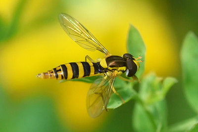 #1465  Hover Fly