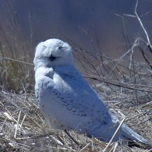 #1454  Snowy Owl at Salisbury Beach, MA    04-22-18