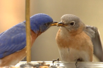 #1444  Eastern Bluebird pair - male feeding female (on right)