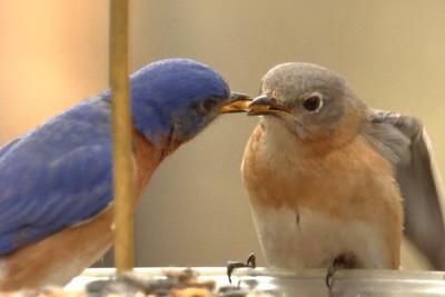 #1444  Eastern Bluebird pair - male feeding female (on right)