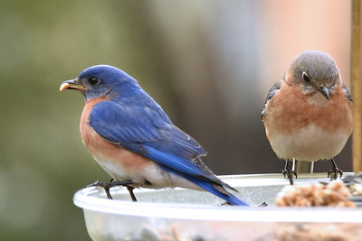 #1450  Eastern Bluebird pair  (male on left)       04-15-18