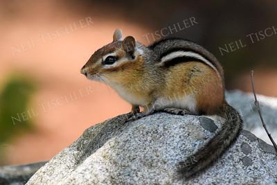 #1384  Chipmunk atop rock