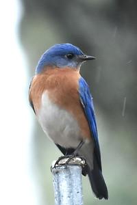 #1441  Eastern Bluebird, m  on pole