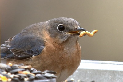 #1446  Eastern Bluebird, female  with mealworm