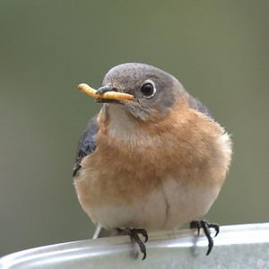 #1448  Eastern Bluebird, female  with mealworm