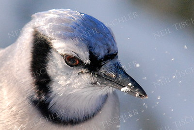 #870  A blue jay in winter