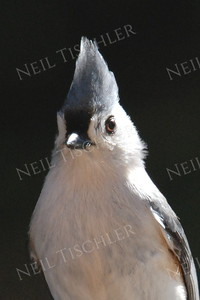 #676  A tufted titmouse portrait