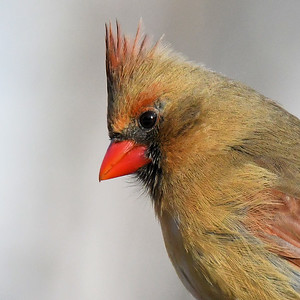 #1602  Northern Cardinal portrait, female