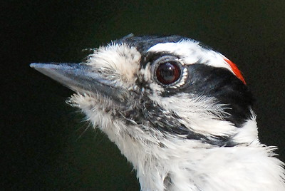 #823  A Downy Woodpecker portrait, male