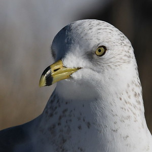 #1643  Ring-billed Gull portrait  at Newburyport, MA  in January 2020