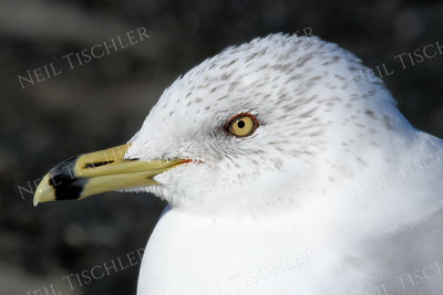 1403  Ring-billed Gull portrait