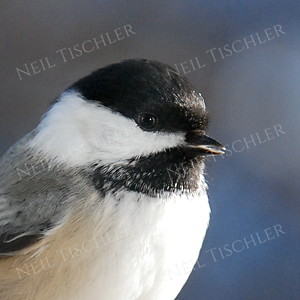 #576  A black-capped-chickadee portrait