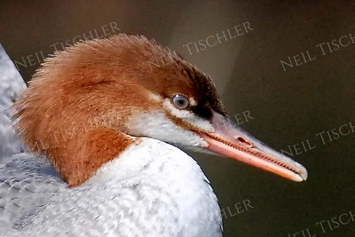 1409  Common Merganser portrait