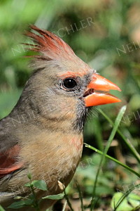 #1412  Northern Cardinal, female