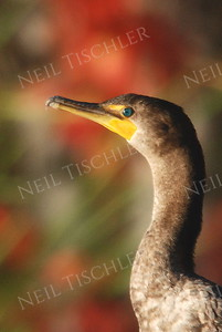 #768  A double-crested cormorant in early autumn