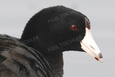 #898  An American Coot