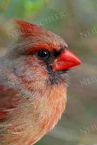#984  Northern Cardinal portrait, female