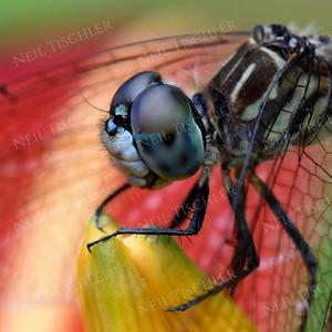 #1423  Dragonfly portrait