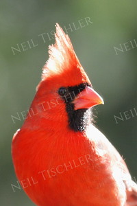 #567 Northern Cardinal portrait, male