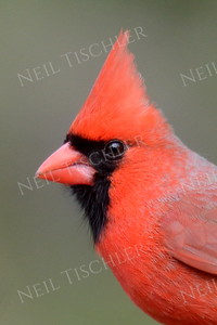 #1411  Northern Cardinal portrait, male