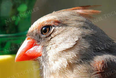 #810  Northern Cardinal portrait, female