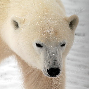 #547  A polar bear approaches our tundra buggy and enables this portrait.