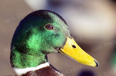 #1066  A mallard male takes a good look at me.