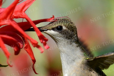 #1080  A male juvenile ruby throated hummingbird drinks from a red beebalm blossom.