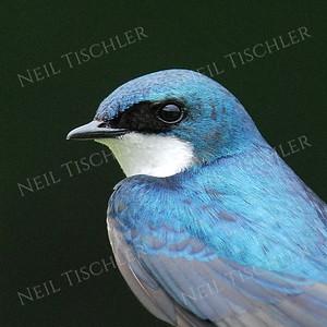 #914  A male tree swallow portrait