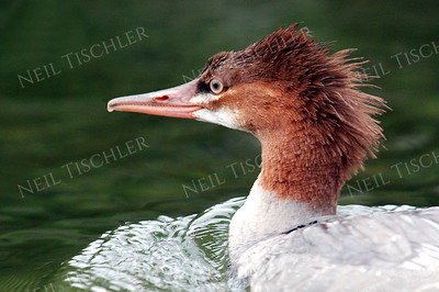 #1007  A common merganser.