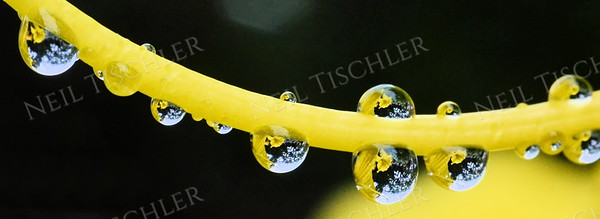 #1027  Water droplets perch and dangle along the pistil of a yellow daylily flower.    This is a panoramic crop with a ratio of 2.75 x 1.