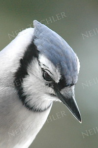 #598  A blue jay in an unusual pose